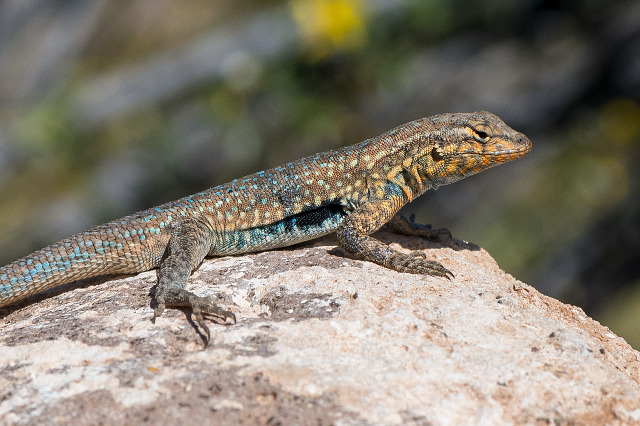photo of a side-blotched lizard